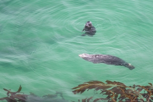Harbor Seals Swimming
