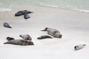 Mother and Baby Harbor Seals on Beach
