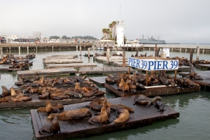 Sea Lions on Floating Docks