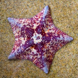 Mottled Bat Star
