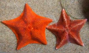 Orange Bat Stars