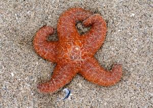 Orange Pacific Sea Star