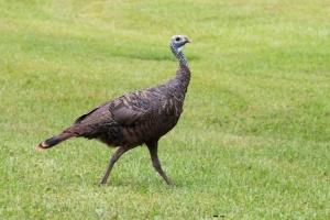 Wild Turkey in Backyard