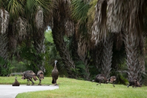 Flock of Wild Turkeys in Driveway