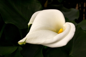 Gorgeous Calla Lily
