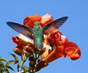 Wings of Anna's Hummingbird