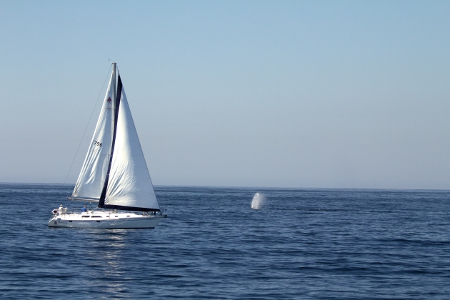 COLOR BLUE:  Sailing among Humpback Whales, Santa Barbara, California.