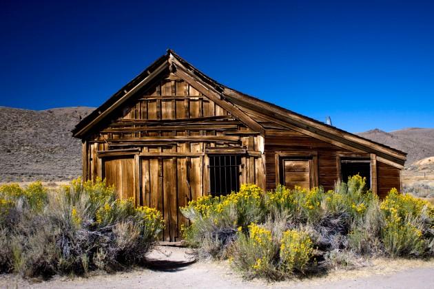 COLOR YELLOW:  Rabbitbrush Surrounding Old Ghost Town Bodie's Jail, Mono Lake Area, California.