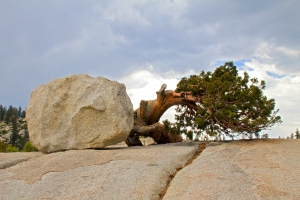 Ancient Stunted Juniper Tree