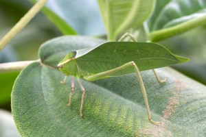 Giant Florida Katydid