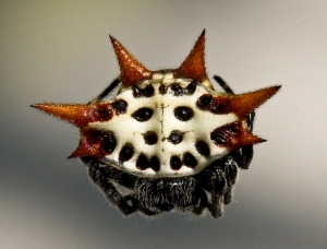 Crab Spider (Spinybacked Orb Weaver)