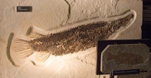 Fossil Gar