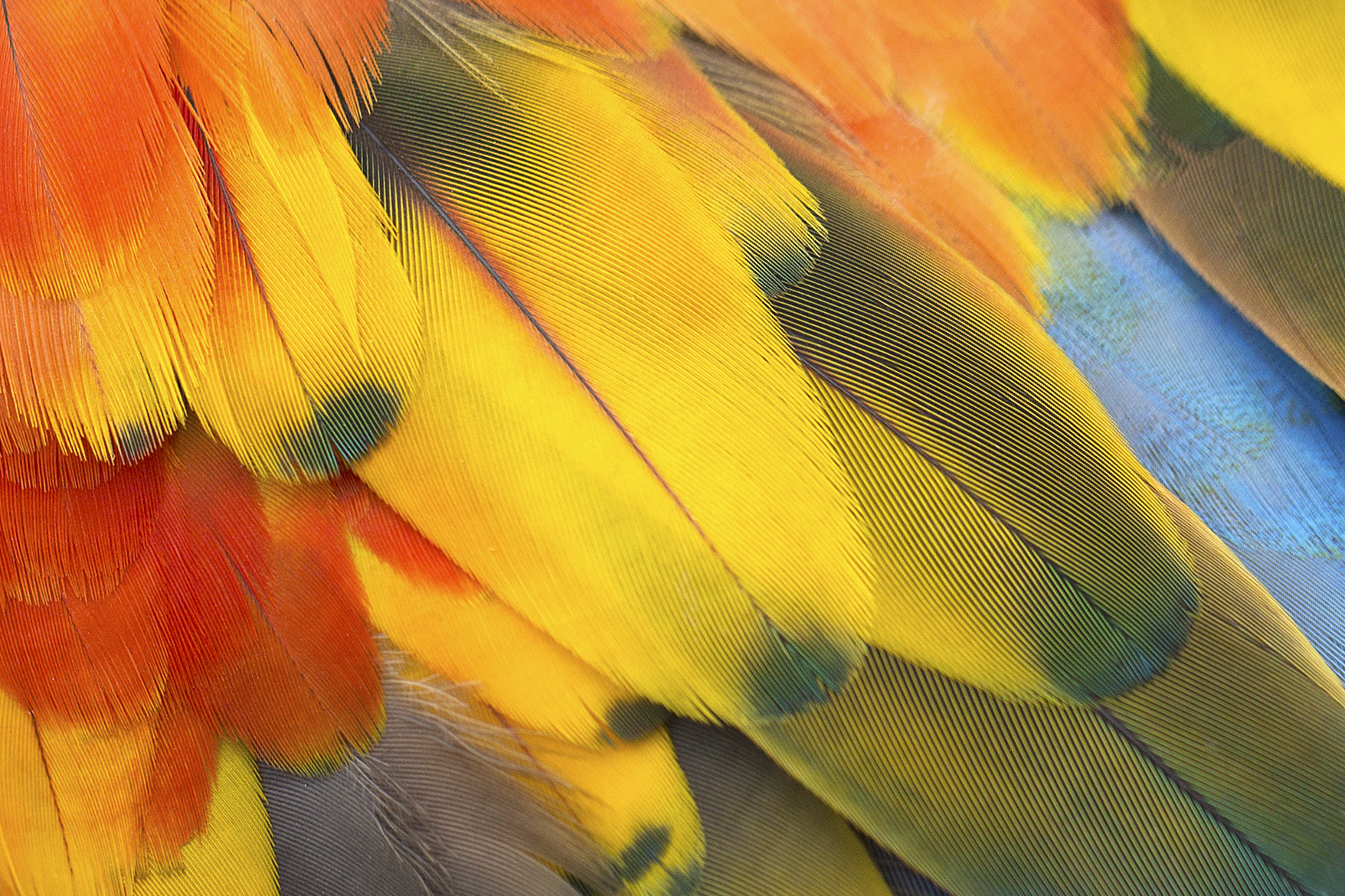 Parrot feathers - photo#23