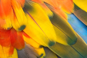 Closeup of Colorful Feathers