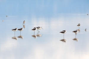 Avocets on Lake