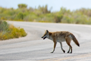Coyote Crossing Road