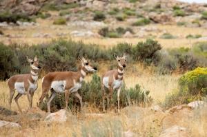 Female Pronghorn Antelope