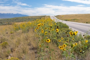 Wild Sunflowers Lining Road