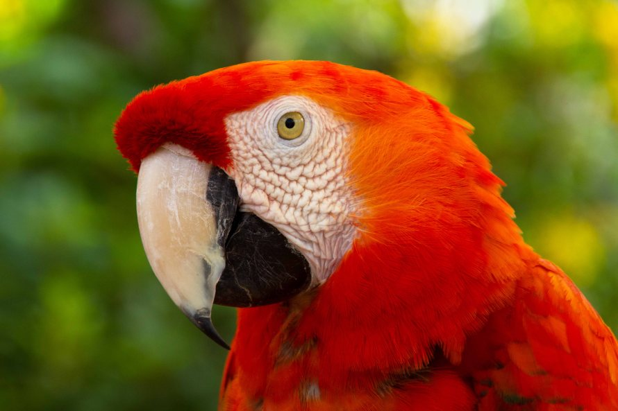 scarlet macaw birds high - photo #15