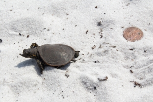Baby Softshell Turtle Beside Penny