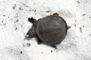 Baby Softshell Turtle From Above