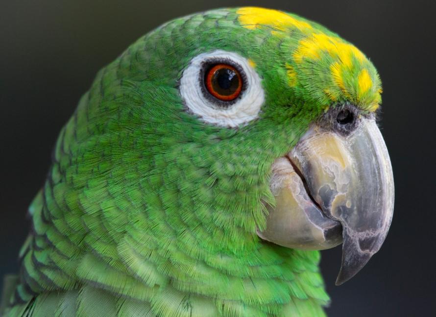 Yellow Crowned Amazon Parrot   naturetime Yellow Crowned Amazon