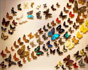 Butterflies of the World Display in Insect Museum