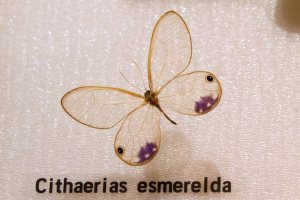 Esmerelda Clear-Winged Butterfly in Insect Museum
