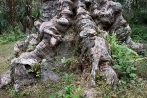 Tree Surgery Visible (center) at Base of Big Oak