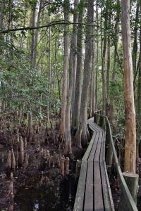 Catwalk through Bald Cypress Trees