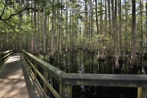 Boardwalk over Swamp