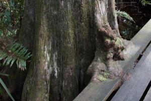 Bald Cypress Growing over Catwalk