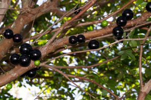 Jaboticaba Fruit Tree