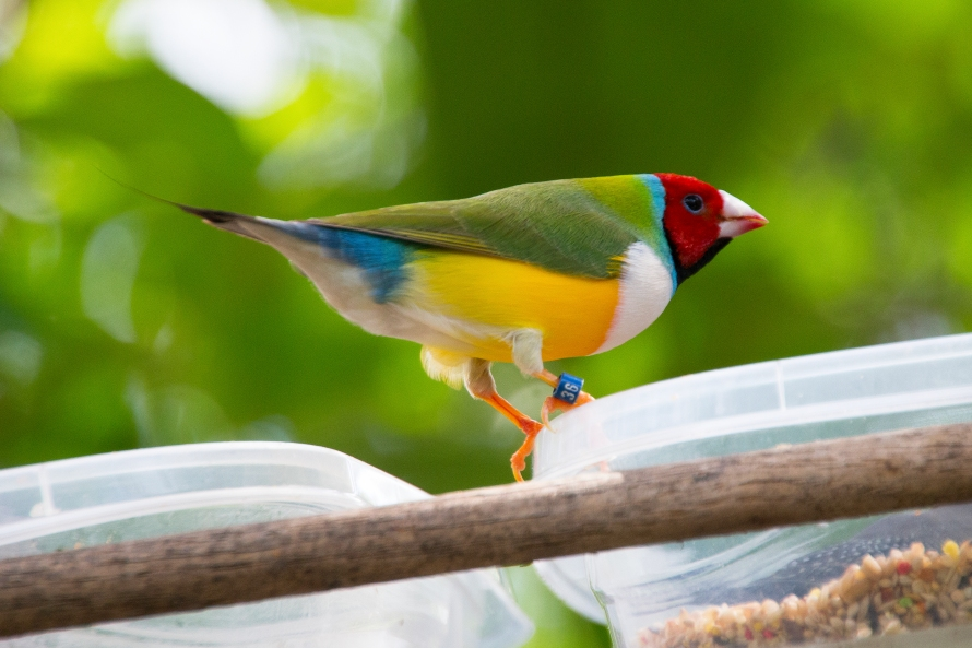 lady gouldian finch  male