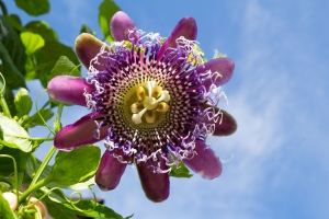 Passion Flower:  Passiflora Royale
