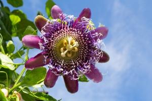 Passion Flower:  Passiflora Royale