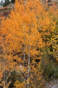 Orange Aspen Trees in Fall