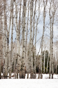 Bare Aspen Trees in Winter