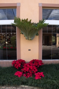 Staghorn Fern and Poinsettias