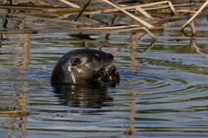 Florida River Otter Side View