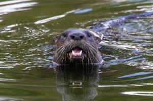 Florida River Otter Face