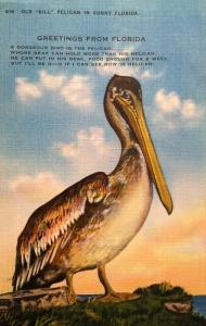Vintage Pelican Postcard