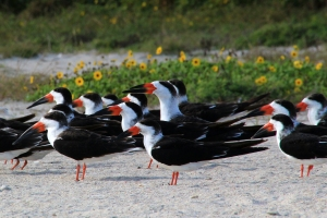 Black Skimmers and Beach Sunflowers