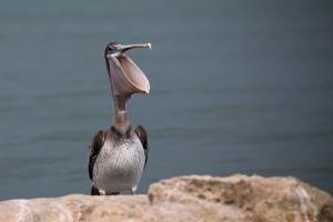 Brown Pelican Pouch Open