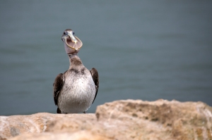Brown Pelican Face On