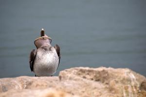 Brown Pelican Head Down