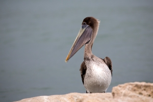 Brown Pelican Looking Left