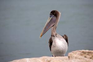 Brown Pelican Looking Left