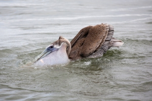Brown Pelican's Expanded Pouch with Fish Inside