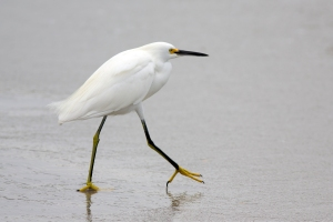 Snowy Egret (notice the bright yellow feet)